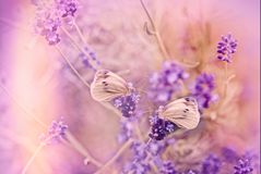 Butterfly on lavender flower. Selective focus on butterfly on lavender lit by sunlight Stock Photos