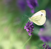 Butterfly on lavender flower Royalty Free Stock Photo