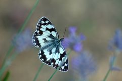 Butterfly on lavender flowers Stock Image