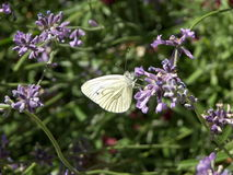 Butterfly on lavender flowers. A closeup of a fragile-looking white butterfly resting on some lavender flowers Stock Photos
