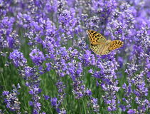 Butterfly on lavender flowers Stock Photo