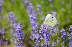 Butterfly on a Lavender Flowers stock images