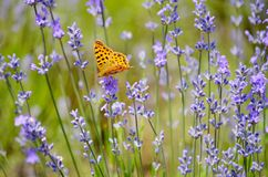 Butterfly on a Lavender Flowers stock photo