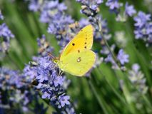 Butterfly on lavender flowers stock photography