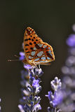 Butterfly and lavender flowers. Royalty Free Stock Photos