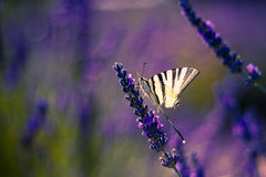 Butterfly on the Lavender in Garden Royalty Free Stock Photography