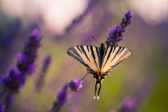 Butterfly on the Lavender in Garden Royalty Free Stock Photo