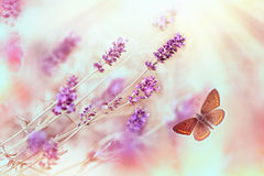 Butterfly in lavender garden Stock Photo