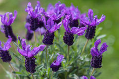 Butterfly lavender  green Garden Background. Butterfly lavender on daylight and green Garden Background Stock Photo