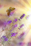 Butterfly and lavender Stock Photography