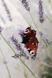 Butterfly on the lavender royalty free stock photos