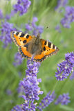 Monarch butterfly on violet lavender stock image