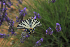 Butterfly on lavender, Papilio machaon Royalty Free Stock Photos