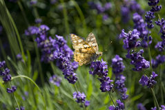 Butterfly on a lavender plant Royalty Free Stock Image