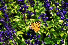 A butterfly and lavender Stock Photos