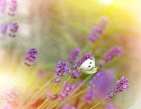 Butterfly on lavender Stock Image