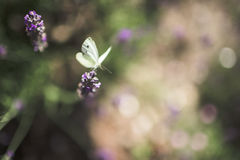 Butterfly on lavender Stock Images