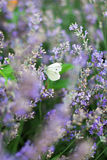 Butterfly in lavender Stock Images