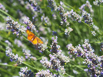Butterfly on lavender. Yellow butterfly flyes on lavender flower garden Royalty Free Stock Photo