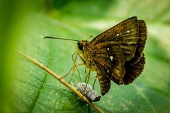 BUTTERFLY LAYING EGGS ON A LEAF. A closeup shot of a butterfly laying eggs on a leaf. Lonely in a bush Stock Photos