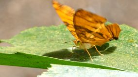 Butterfly laying eggs on a leaf. Butterfly (The Wavy Maplet) laying eggs on a leaf in tropical rain forest stock video
