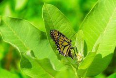Butterfly laying eggs on milkweed. Monarch butterfly, danaus plexippus laying her eggs on a common milkweed plant royalty free stock photography