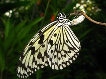 A butterfly laying her eggs Stock Photography