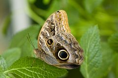 Butterfly on Leaf. Beatiful Butterfly on green Leaf stock photos