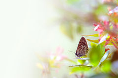 Butterfly on a Leaf. Closeup of common butterfly standing in a leaf - Theclinesthes Onycha Royalty Free Stock Image