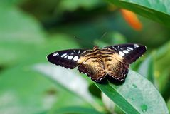 Butterfly on Leaf Stock Images
