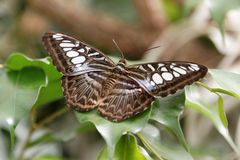 Butterfly on a leaf. A detail of a tropical butterfly sitting on a leaf Royalty Free Stock Photography