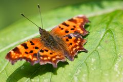 Butterfly on leaf. Orange butterfly on green leaf catching sun Stock Photo