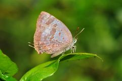 Butterfly on leaf. From Thailand background Royalty Free Stock Photo