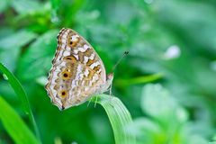 Butterfly on a leaf. Royalty Free Stock Photography