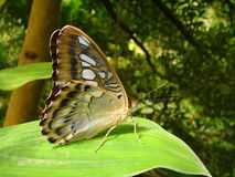Butterfly on leaf. Macro butterfly parthenos sylvia of profile on leaf Stock Images