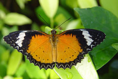 Butterfly on a   leaf Stock Image