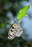 Butterfly on the leaf Royalty Free Stock Photos