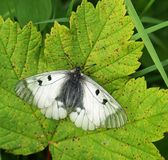 Butterfly on leaf. Butterfly sunbathing on maple leaf stock photography
