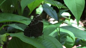 Butterfly on a leaf in the Amazon Blue Morpho. Blue Morpho butterfly in the Amazon forest stock video