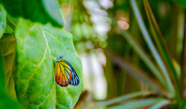 Butterfly on a leaf Stock Photography