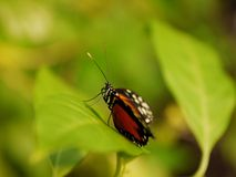 Butterfly on a leaf. Beautiful butterfly resting on a leaf Royalty Free Stock Photography