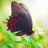 Butterfly on leaf. Black and red dot butterfly in sunlight on green leaf stock images