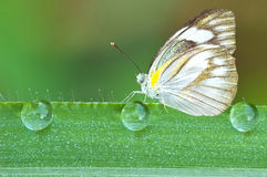 Butterfly on a leaf with dew drops Royalty Free Stock Photos