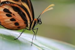 Butterfly on a leaf Royalty Free Stock Photo