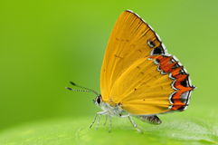 Butterfly on a leaf, Heliophorus moorei. Having rest. yellow and orange Royalty Free Stock Images