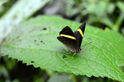 Butterfly. On a leaf in Himalayan Garden,Sikkim,India Royalty Free Stock Image