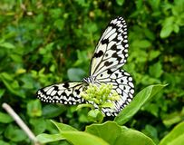 Butterfly on Leaf. An image of a black and white butterfly from Okinawa, Japan Stock Photos
