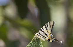 Butterfly On Leaf (Iphiclides podalirius) Royalty Free Stock Images
