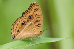 Butterfly on a leaf, Junonia almana. Having rest. there are eyes on wings,  in order to threaten the enemy Stock Photo