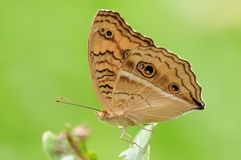 Butterfly on a leaf, Junonia almana. Having rest. there are eyes on wings,  in order to threaten the enemy Royalty Free Stock Photo